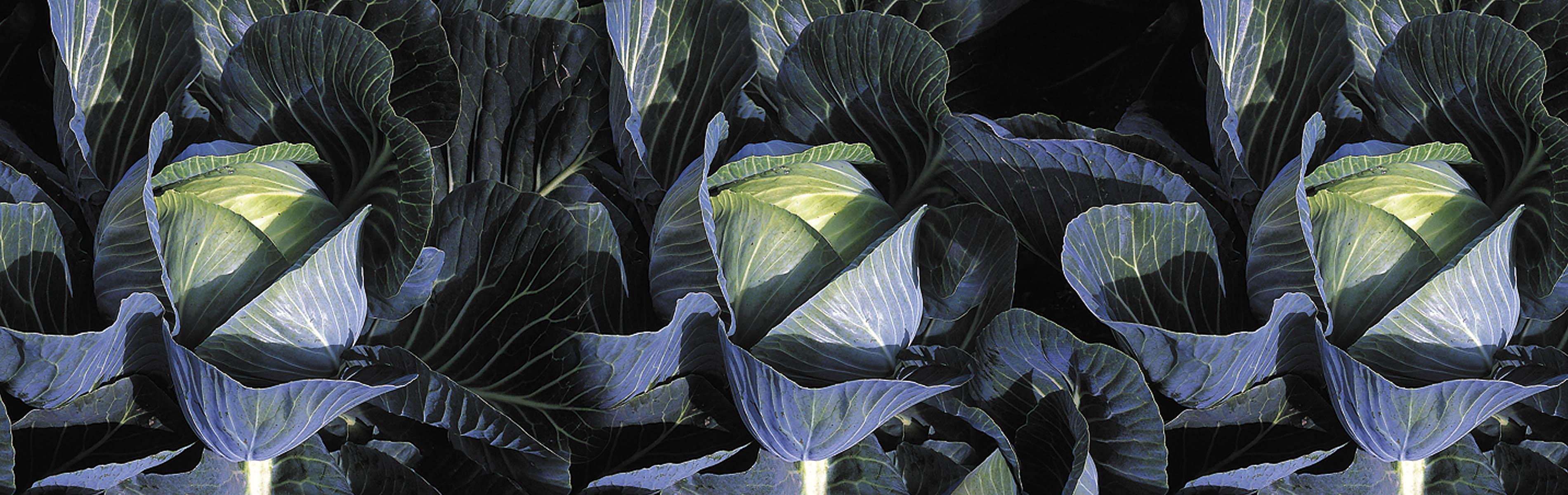 Cabbage Hybrids